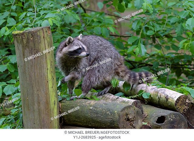 Raccoon (Procyon lotor), Hesse, Germany, Europe