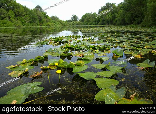 Yellow Pond Lily (Nuphar polysepala) on Goose Lake, Willamette Mission State Park, Oregon
