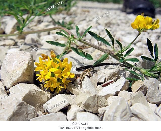 Sickle alfalfa, Sickle medick, Yellow lucerne, Yellow-flowered alfalfa (Medicago falcata, Medicago sativa ssp. falcata), blooming, Germany, Baden-Wuerttemberg