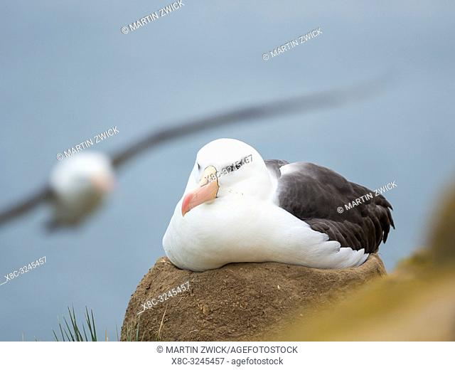 Adult brooding on tower shaped nest. Black-browed albatross or black-browed mollymawk (Thalassarche melanophris). South America, Falkland Islands, January