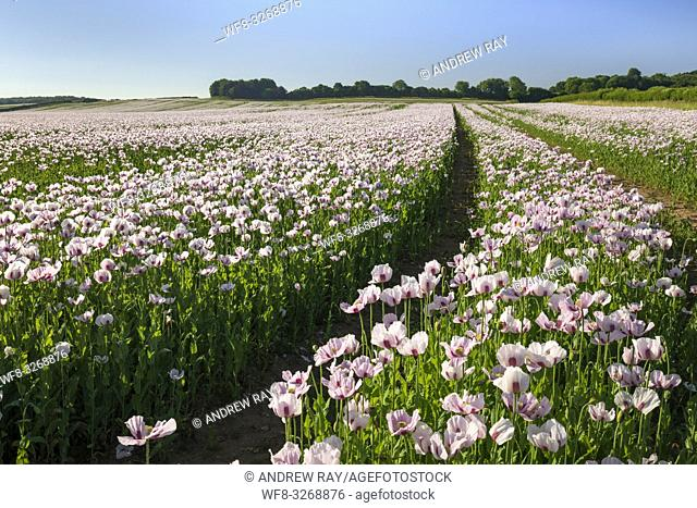 A field of opium poppies which are grown annually for medical purposes illuminated by evening light in late June at West Morden in Dorset