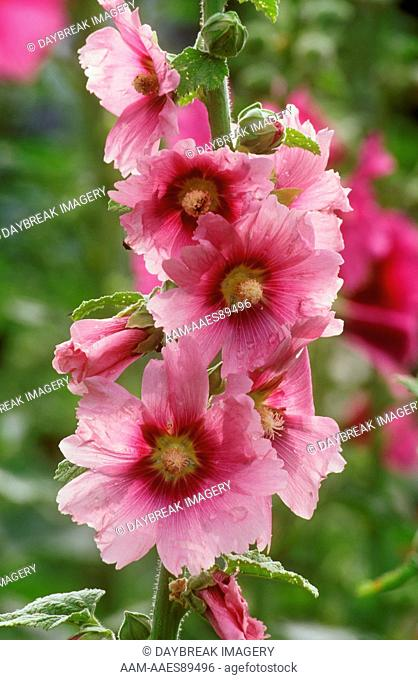 Hollyhocks (Alcea rosea) Marion Co., Illinois
