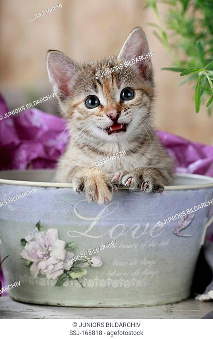 Domestic Cat. Kitten meowing while sitting in a decorative metal bowl