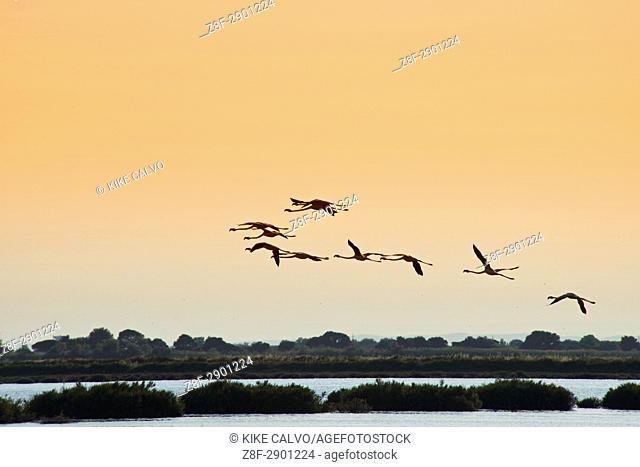 Pink or Greater Flamingos ( Phoenicopterus roseus ) in flight. Camargue Natural Regional Park