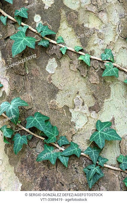 vine plant in tree trunk for backgrounds and textures