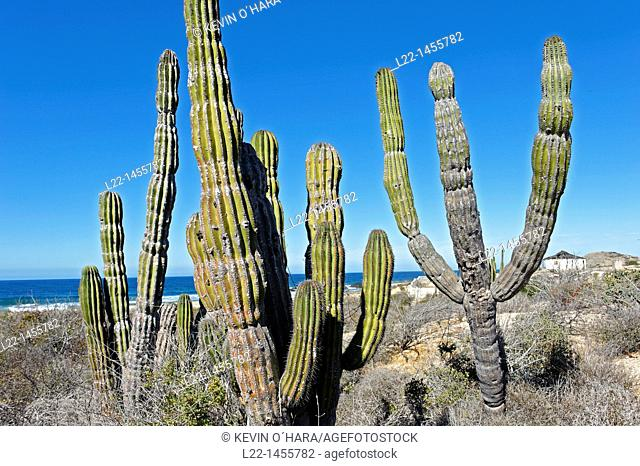 The saguaro scientific name Carnegiea gigantea is a large, tree-sized cactus species in the monotypic genus Carnegiea. Pacific coast side of the peninsula