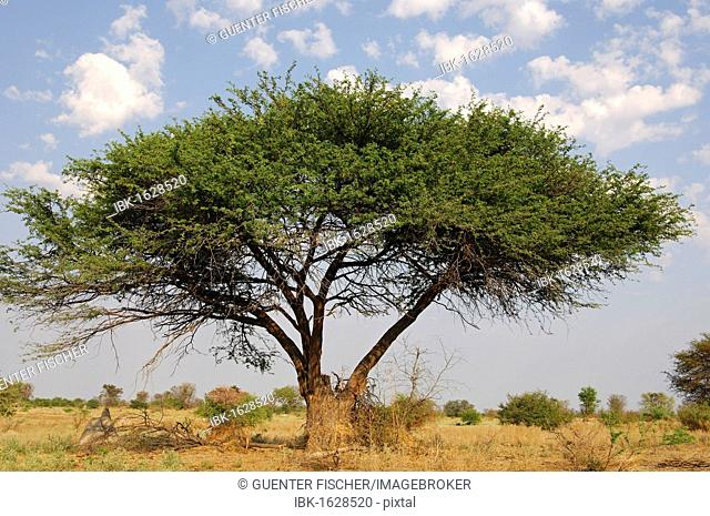 Umbrella Thorn Acacia Tree Stock Photos And Images Age Fotostock