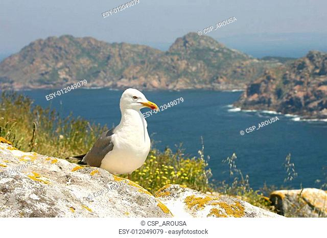 Seagull on Cies Islands