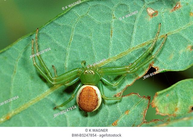 green crab spider Diaea dorsata, sitting on a leaf, Germany