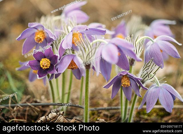 Belarus. Beautiful Wild Spring Flowers Pulsatilla Patens. Flowering Blooming Plant In Family Ranunculaceae, Native To Europe, Russia, Mongolia, China