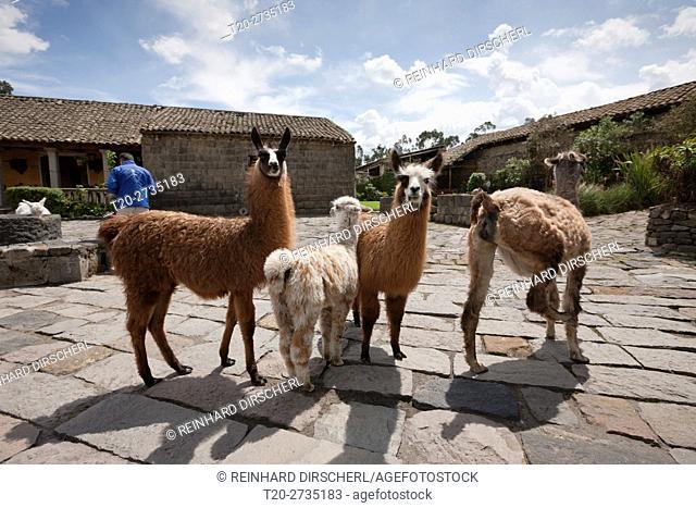 Lamas at Hacienda San Augustin de Callo, Lama glama, Cotopaxi National Park, Ecuador