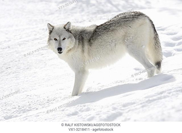 Gray Wolf / Wolf (Canis lupus), in winter, standing in deep snow, watching attentively, nice winter fur, amber coloured eyes, Yellowstone area, Montana, USA