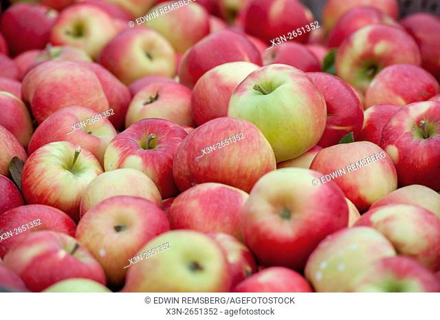 Freshly picked Honeycrisp apples (Malus domestica)on an orchard in Livermore, Maine