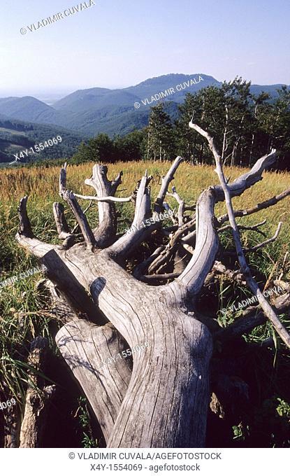 Dead, fallen tree on the summit of Skalnata, Male Karpaty