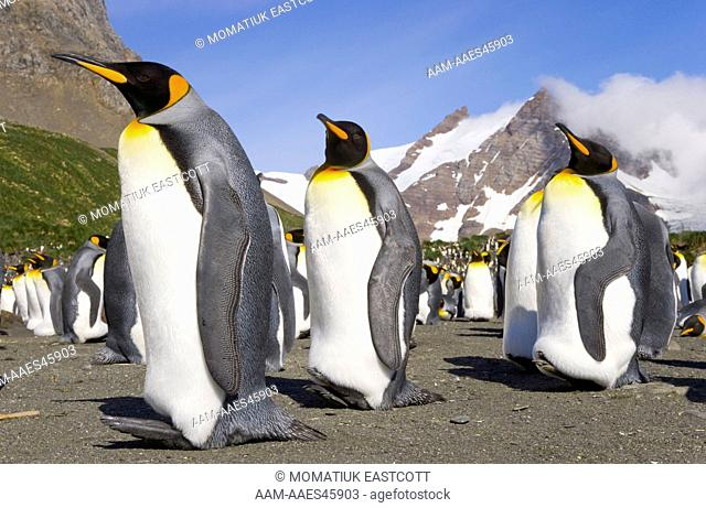 King Penguins (Aptenodytes patagonicus) adults, resting, walking, interacting, some moulting, near penguin rookery on beach, fall morning