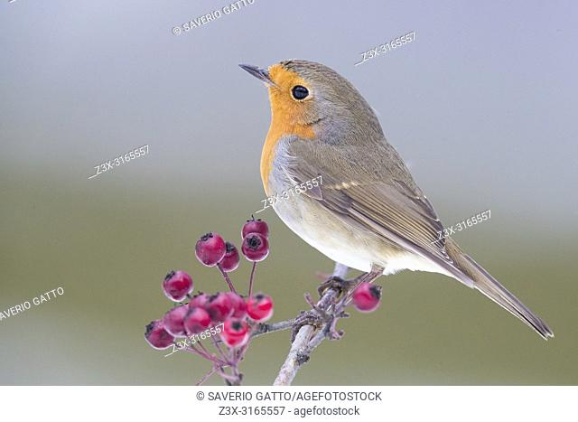 European Robin (Erithacus rubecula), adult standing on a Hawthorn Branch