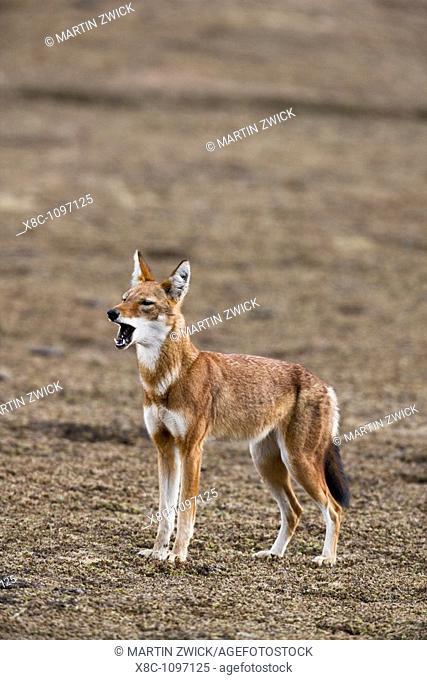 Ethiopian Wolf Canis simensis alarming the pack in the Bale Mountains National Park  The Ethiopian Wolf is the rarest of the wild dogs or wolves and strictly...