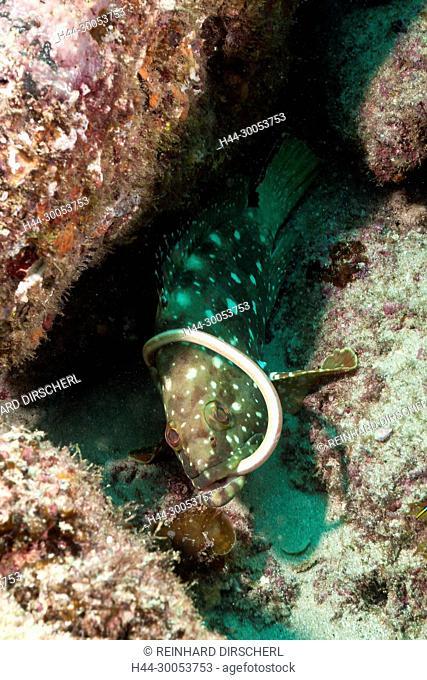 Starry Grouper captures Garden Eel, Epinephelus labriformes, Cabo Pulmo, Baja California Sur, Mexico