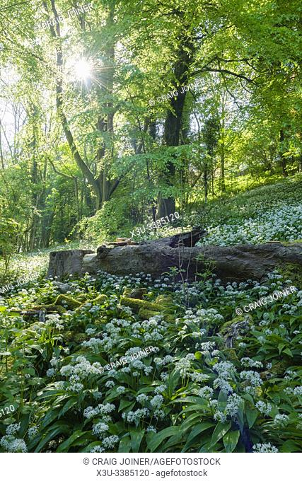 Ramsons (Allium ursinum) or Wild Garlic in flower in springtime at Rowberrow Warren in the Mendip Hills, Somerset, England