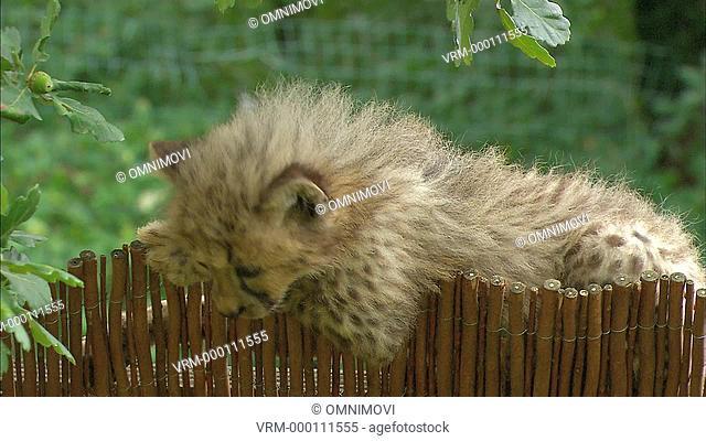 Cheetah cub / Peaugres, France