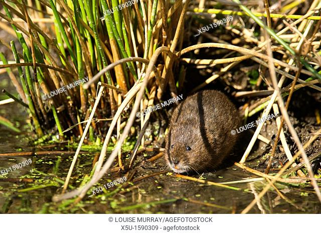Water vole, Arvicola terrestris at its burrow entrance  the burrow is surrounded by a closely cropped lawn, eaten by the largely herbivorous rodents   British...