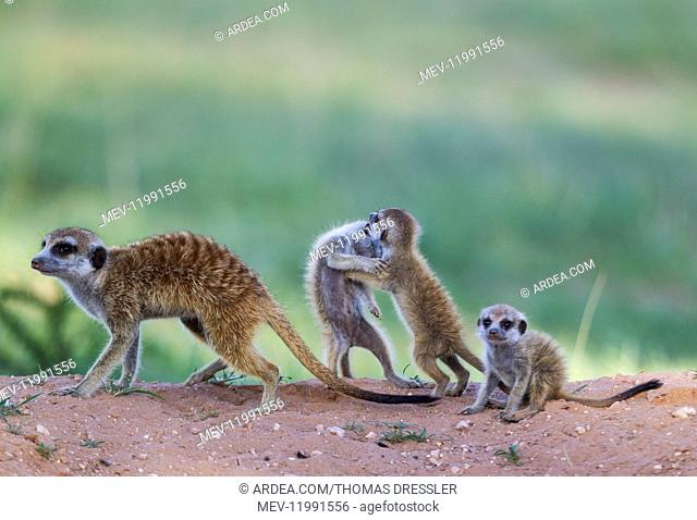 Suricate - also called Meerkat - female with three playful young in the evening at their burrow - during the rainy season in green surroundings - Kalahari...