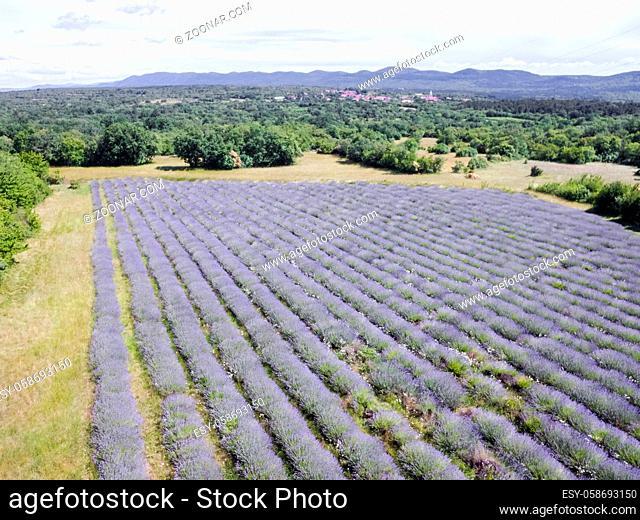 Aerial view photo of lavender field in full blooming season in diagonal rows