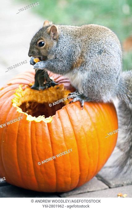 Squirrel eating pumpkin Illinois USA