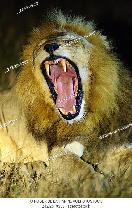 Lion (Panthera leo) yawning at night. Timbavati Game Reserve. Limpopo Province. South Africa