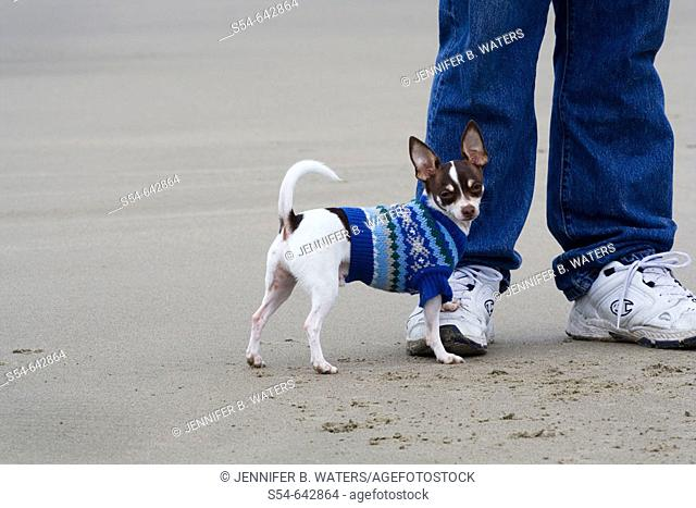 An adult male Chihuahua wearing a blue sweater on the beach with a man