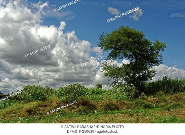 babool tree, narsobawadi, kolhapur, Maharashtra, India, Asia