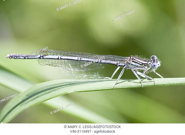 Male White-legged Damselfly, Platycnemis pennipes