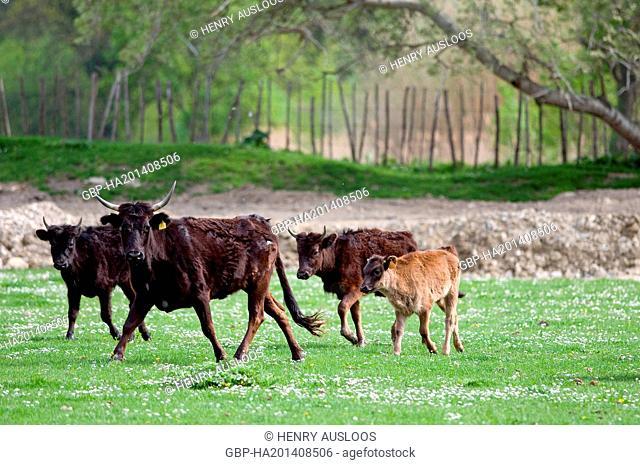 France, Camargue, cattle, Bos taurus