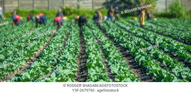 Vegetable farming. Rows and rows of fresh veggies. Philippi a farming community near Cape Town, South Africa