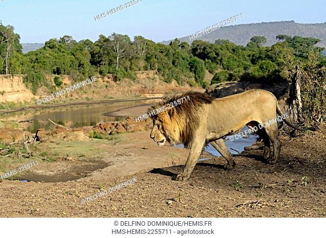 Kenya, Masai Mara Reserve, Lion (Panthera leo), male moving beside dla Mara River