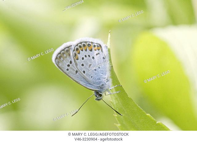 Idas Blue, Plebejus idas are myrmephilic Lycaenidae associatted with Lasius and Formica ants. Meadow grasslands with large variety of flowering plants
