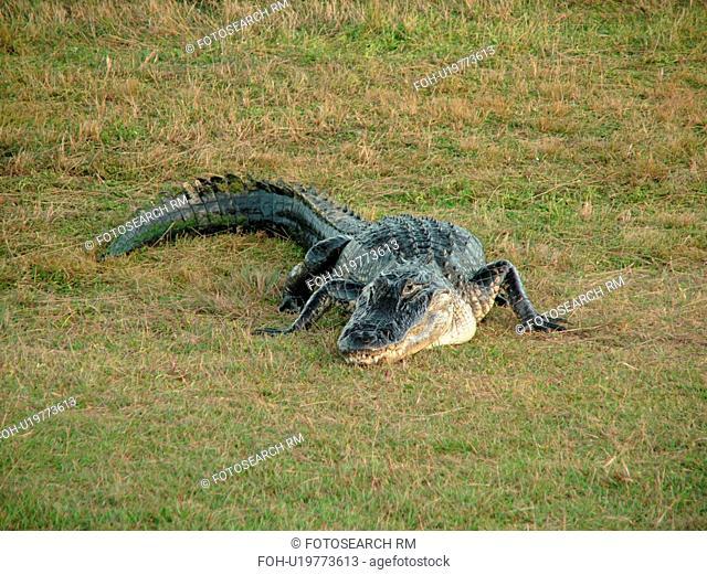 Everglades National Park, FL, Florida, Flamingo, West Lake, American Alligator on land