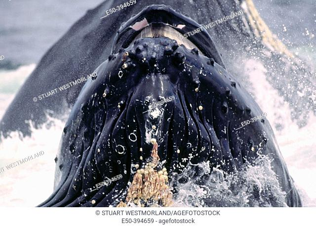 Lunge. Feeding humpback whales. Inside passage. Alaska. USA
