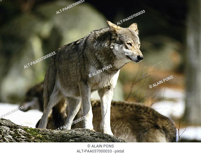 Europe, Germany, wolf