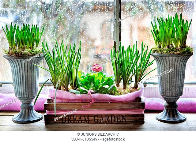 Rain on a window. In the foreground a wooden box with flowering Daisy and Grape Hyazinths (Muscari sp) in amphoras. Germany
