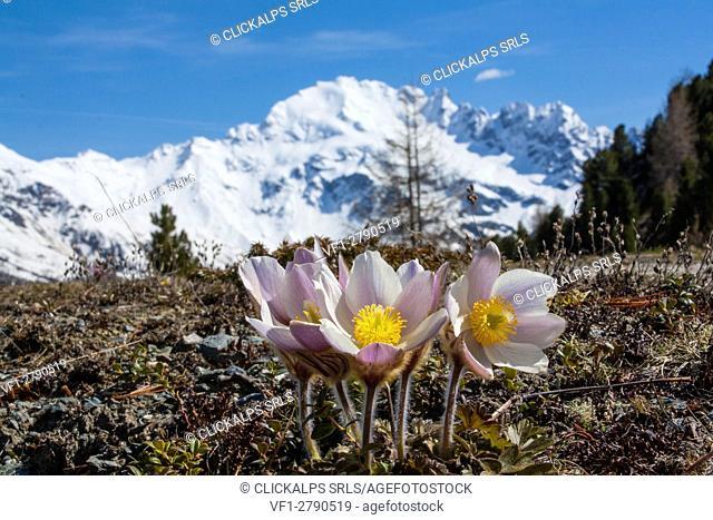 Alpin flowers between the mountains of Valtellina. Valdidentro - Lombardy - Italy