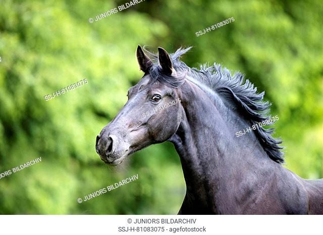 Feistritzer Horse. Portrait of black mare with mane flowing. Austria