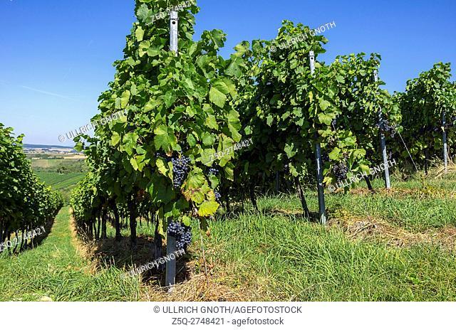 Grapevines in a vineyard near Sulzfeld, Baden-Wurttemberg, Germany