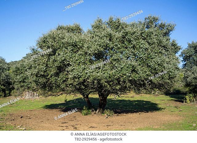 Holm Oak grove, Seville province, Andalusia, Spain