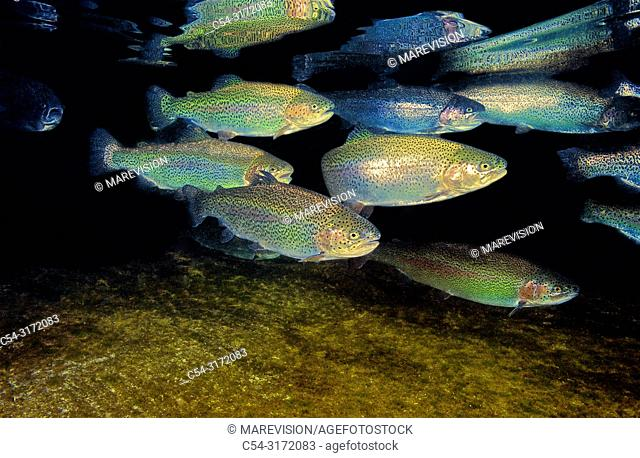 Freshwater Rivers. Rainbow trout (Oncorhynchus mykiss). San Isidro river. Cabaña Quinta. Asturias. Spain. Europe