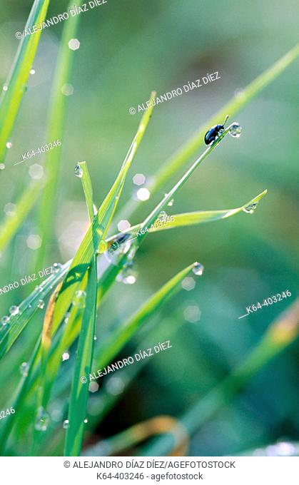 Dewdrops on grass and beetle