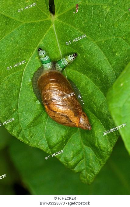 rotten amber snail, large amber snail, European ambersnail (Succinea putris), with swollen tentacles, which contains the green-banded broodsac