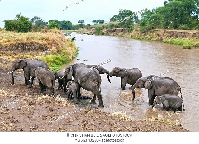 African Bush Elephant or African Savanna Elephant (Loxodonta africana), elephant family crossing the Mara River, Maasai Mara National Reserve, Rift Valley