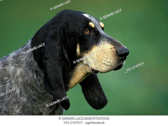Little Blue Gascony Hound, Portrait of Dog