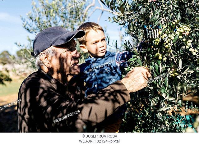 Senior man and grandson picking olives from tree